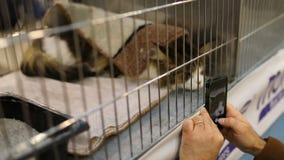 Maine Coon Cat At Feline utställning arkivfilmer