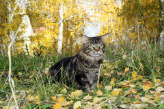 Maine coon cat in the forest in autumn Royalty Free Stock Image