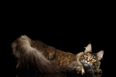 Maine Coon Cat Funny Looks oben lokalisiert auf schwarzem Hintergrund Lizenzfreie Stockfotografie