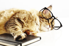 Maine coon cat with glasses and a book royalty free stock photography