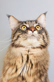 Maine coon cat on gray Royalty Free Stock Image