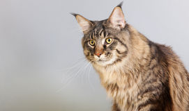 Maine coon cat on gray Royalty Free Stock Photos