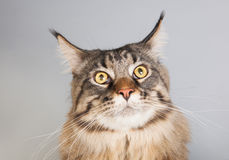 Maine coon cat on gray Royalty Free Stock Photo