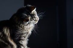 Maine coon cat grey and black portrait Royalty Free Stock Image