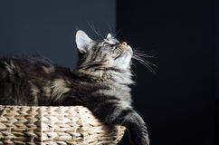 Maine coon cat grey and black portrait Stock Photography