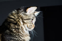 Maine coon cat grey and black portrait Stock Photos