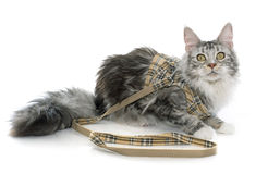 Maine coon cat and harness Stock Photos