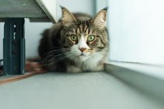 Maine coon cat hiding near a window. And looking at camera Stock Photo