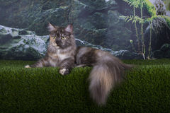 Maine Coon cat hunts summer day Royalty Free Stock Images