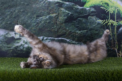 Maine Coon cat hunts summer day Stock Photos