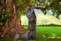 Maine Coon cat hunts summer day Royalty Free Stock Photo