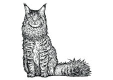Maine coon cat illustration, drawing, engraving, line art Royalty Free Stock Images