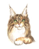 Maine coon cat. Image of a thoroughbred maine coon cat. Watercolor painting Stock Photography