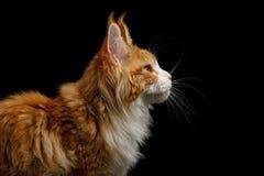 Maine Coon Cat Isolated énorme sur le fond noir Images libres de droits