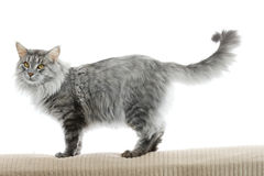 Maine coon cat isolated. On white background Royalty Free Stock Photos