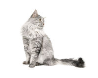 Maine coon cat isolated. On white background Stock Photos