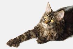 Maine Coon Cat Isolated enorme en el fondo blanco Imágenes de archivo libres de regalías