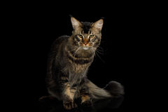 Maine Coon Cat Isolated no fundo preto Fotografia de Stock