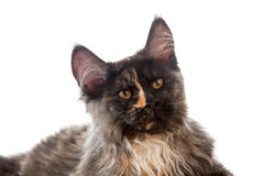 Maine Coon cat Royalty Free Stock Images