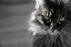 Maine coon cat. A key colour photo of a cat with green eyes Stock Images