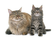 Maine coon cat and kitten Stock Image