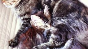 Maine Coon Cat and kitten hug and sleep in the bed. 1920x1080. hd stock video