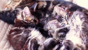 Maine Coon Cat and kitten hug and sleep in the bed. 1920x1080 stock video