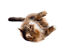 Maine Coon Cat Laying Royalty Free Stock Photo