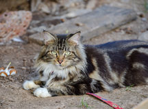 Maine Coon Cat Laying Down op Grond royalty-vrije stock foto