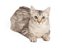 Maine Coon Cat Laying Looking Forward Stock Image