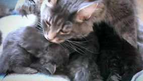 Maine coon Cat is licking her kittens while the. Maine coon Cat is licking her kittens. 1920x1080 stock footage