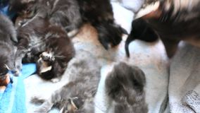 Maine coon Cat is licking her kittens. 1920x1080 stock video footage