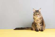 Maine coon cat licking with tongue Royalty Free Stock Image
