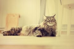 Maine Coon cat lies in the living room. On the floor royalty free stock image