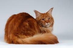 Maine Coon Cat Lies och vänt tillbaka på vit royaltyfria foton