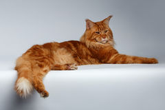 Maine Coon Cat Lies på vit arkivfoton