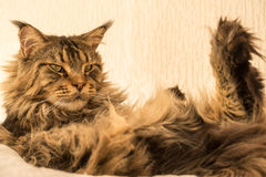 Maine Coon Cat with long lynx tips sitting on hammock Stock Photography