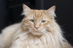 Maine coon cat looking at camera Royalty Free Stock Image