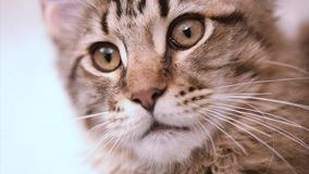 Maine coon cat looking. Funny Maine coon cat move his head back and forth. Adorable tabby kitten 4 months old. Beautiful kitty is looking something. Close up of stock video
