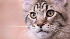 Maine coon cat looking. Funny Maine coon cat move his head back and forth. Adorable tabby kitten 4 months old. Beautiful kitty is looking something. Close up of stock footage