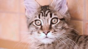 Maine coon cat looking. Funny Maine coon cat move his head back and forth. Adorable tabby kitten 4 months old close up. Beautiful kitty is looking something stock video