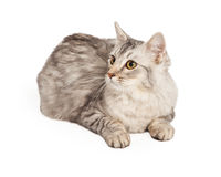 Maine Coon Cat Looking To Side Stock Photo