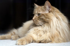 Maine coon cat looking to side Stock Images