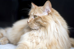Maine coon cat looking to side Royalty Free Stock Photos