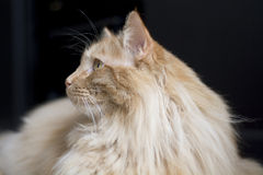 Maine coon cat looking to side Royalty Free Stock Photography