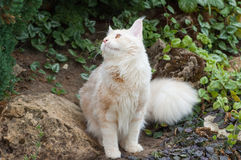 Maine Coon cat looking up Stock Photography