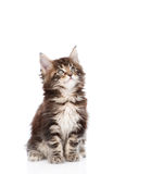 Maine coon cat looking up. isolated on white background.  Stock Photo