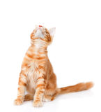 Maine coon cat looking up. isolated on white background.  Stock Photos