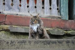 Maine Coon Cat looks like devil. stock photography
