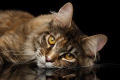Maine Coon Cat Lying, Blick-nettes lokalisiert auf schwarzem Hintergrund Lizenzfreies Stockfoto